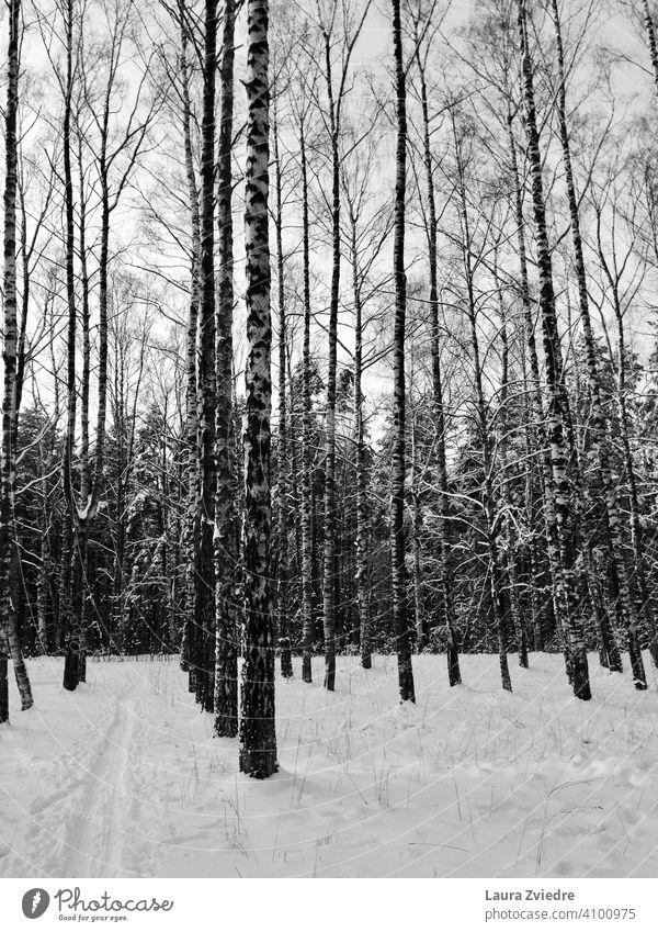 Birken im Winter Birkenwald Schnee Winterstimmung Winterwald Birkenzweig Wald Winterkälte Winterurlaub Winterlicht Schnee im Wald kalt Baum Bäume Natur