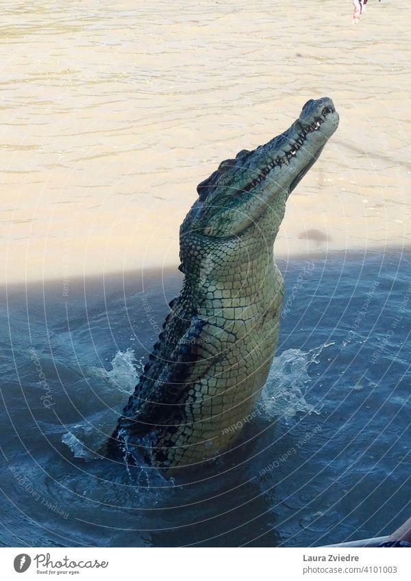 Springendes Krokodil, Australien Panzerechsen Krokodilhaut Krokodil im Wasser Adelaide Fluss topend Reptil Wildtier bedrohlich Tier gefährlich exotisch Farbfoto