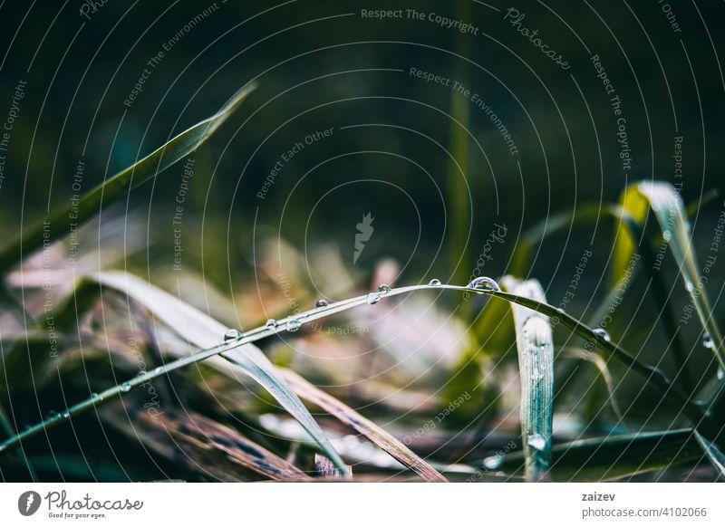 verlängerte Grashalme mit vielen Tautropfen Reinheit horizontal Harmonie Frieden Einfachheit Kopierbereich Geplätscher Ruhe Tröpfchen glänzend umgebungsbedingt