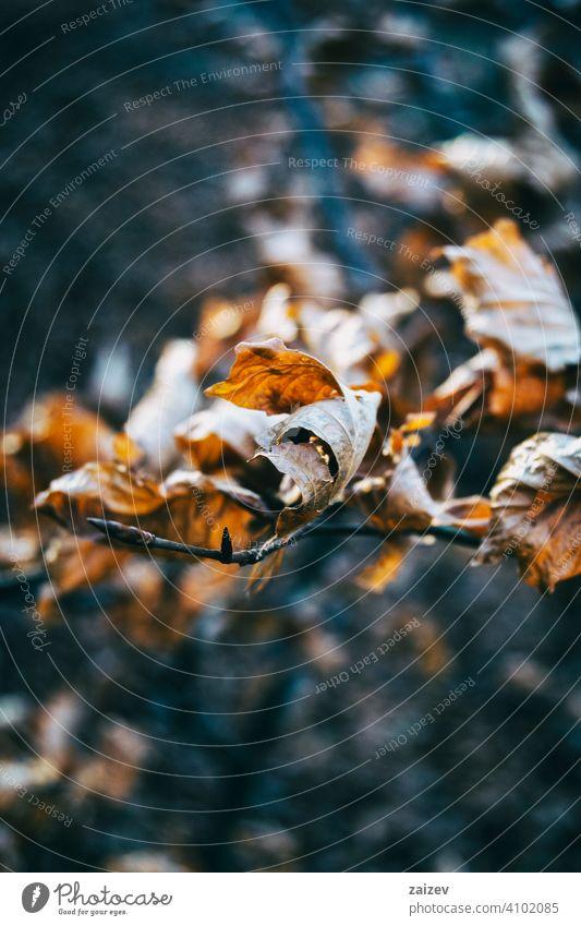 trockene Blätter aus der Nähe gesehen im Herbst - Wintersaison Blatt dunkel gelb immergrüne Eiche Immergrün Flora Natur Nahaufnahme Makro Detailaufnahme