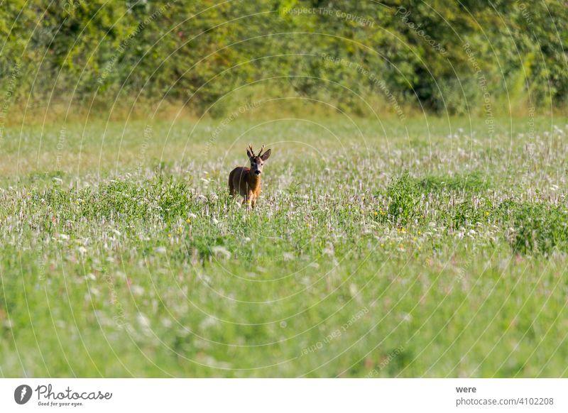 Junges Reh auf einer Wiese jung Tier Tiermotive Bock Textfreiraum kuschlig kuschelig weich Wald Fell Jäger Jagd Landschaft männlich Säugetier Natur niemand