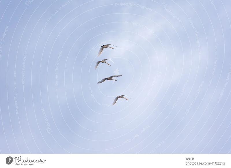 vier junge Schwäne fliegen in Formation in bewölktem Himmel Tier Vogel bewölkter Himmel Textfreiraum elegant Federn Fliege in Formation fliegend Landschaft