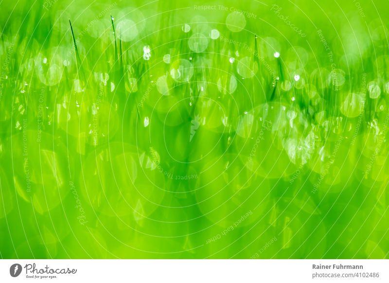 Tautropfen glitzern auf einer grünen Wiese im Morgenlicht. Bokeh Licht Lichtglitzern Hintergrund Natur Wassertropfen Schwache Tiefenschärfe Nahaufnahme Farbfoto