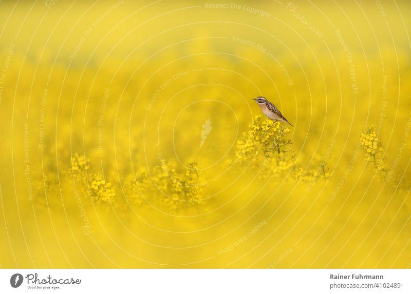 Ein kleiner Vogel, ein Braunkehlchen sitzt in einem blühenden Rapsfeld Saxicola rubetra Feld gelb Natur Frühling Umwelt Singvogel Blühend Farbfoto Landschaft