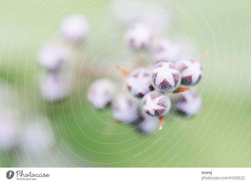 """Platzende Blütenknospen der Deutzia """"Pearl rose"""" Blume deutzia pearle rose Gartenpflanzen platzen Frühlingserwachen Energie neues leben Wachstumsphase"""