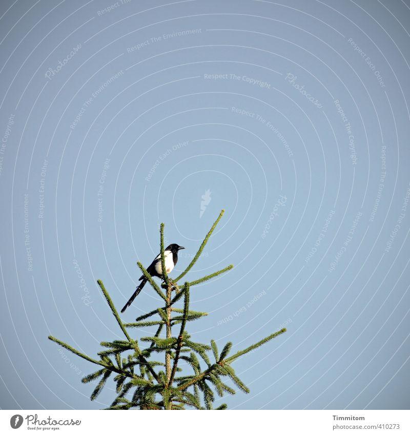 Vogelzählung. Umwelt Tier Himmel Schönes Wetter Baum Elster 1 beobachten Blick warten einfach natürlich blau grün Gefühle Natur Fichte Baumkrone oben Farbfoto