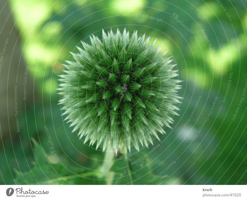 Distel Natur Detailaufnahme Blume Makroaufnahme Kugel grün Pflanze Garten Stachel Spitze stachelig rund Symmetrie Nahaufnahme