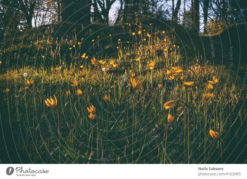 schöne wilde gelbe Tulpen auf dem Friedhof Hügel in goldenen Sonnenuntergang Botanik hell Postkarte Feier Farbe farbenfroh Land Kreativität Morgendämmerung
