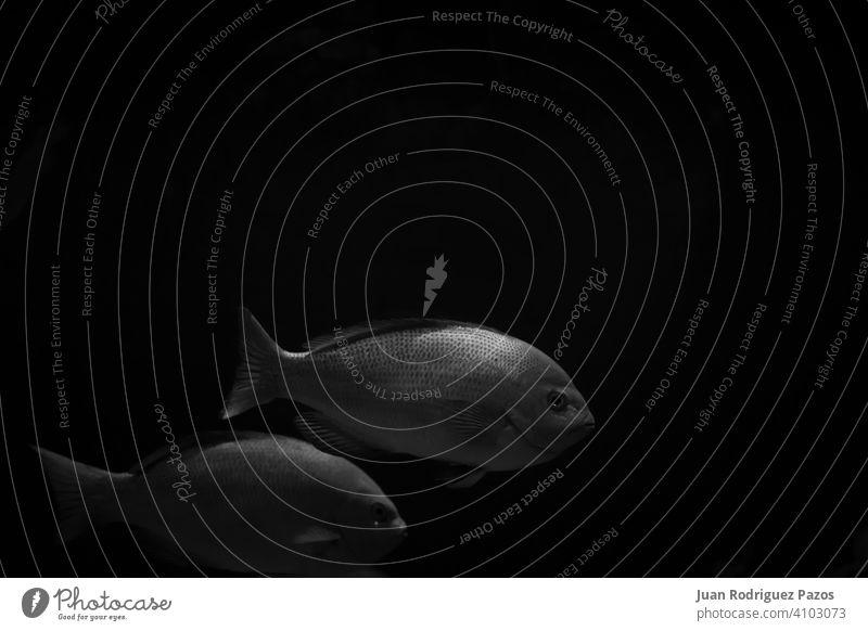 Schwarz und weiß minimalistisches Bild von zwei Fischen in der Dunkelheit Kunst sehr wenige schwarz dunkel MEER Tapete U-Boot marin nautisch schwimmen Tiefe