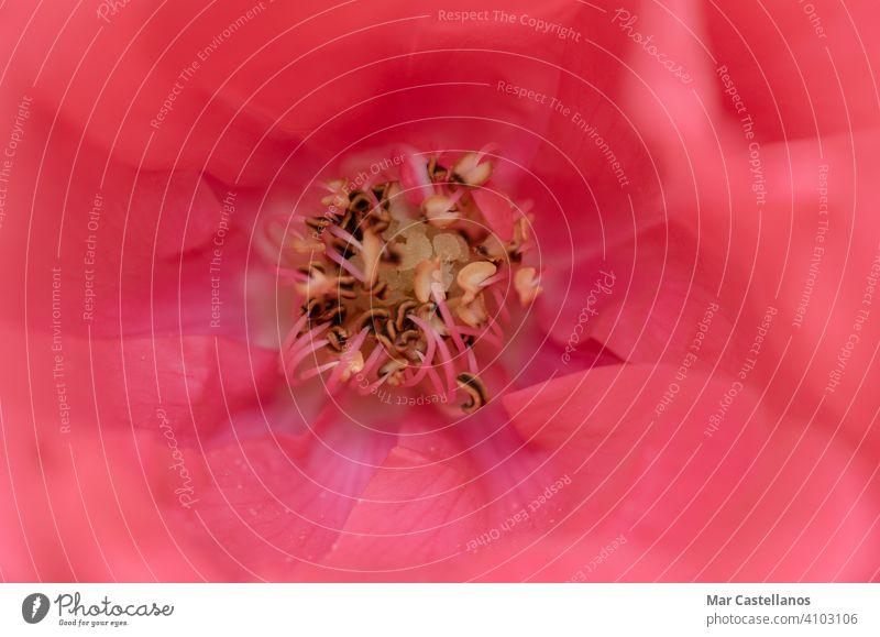 Makroaufnahme der Mitte einer Rose. Texturen. Roséwein cento Blütenblätter Kelchblätter stabres Pestilenz rosa Blumen Nahaufnahme Fotografie Makro-Fotografie