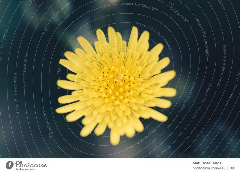 Gelbe Löwenzahnblüte mit unscharfem Hintergrund. gelb Blume cremiger Hintergrund Textfreiraum Selektiver Fokus Natur grün Pflanze natürlich Makro Gras Wiese