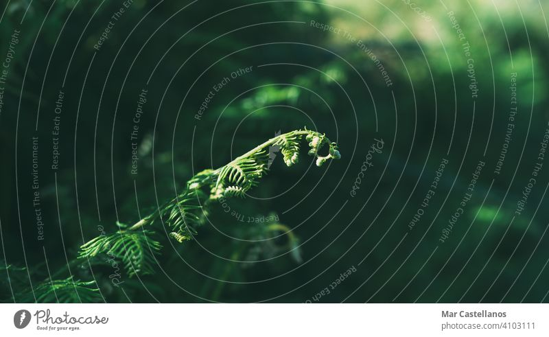 Junge Farngewächse mit unscharfem Hintergrund. Selektiver Fokus. Kopierbereich. Blatt Wurmfarn Pflanze Natur grün Flora Wald Vorbau wild Textur Regenwald