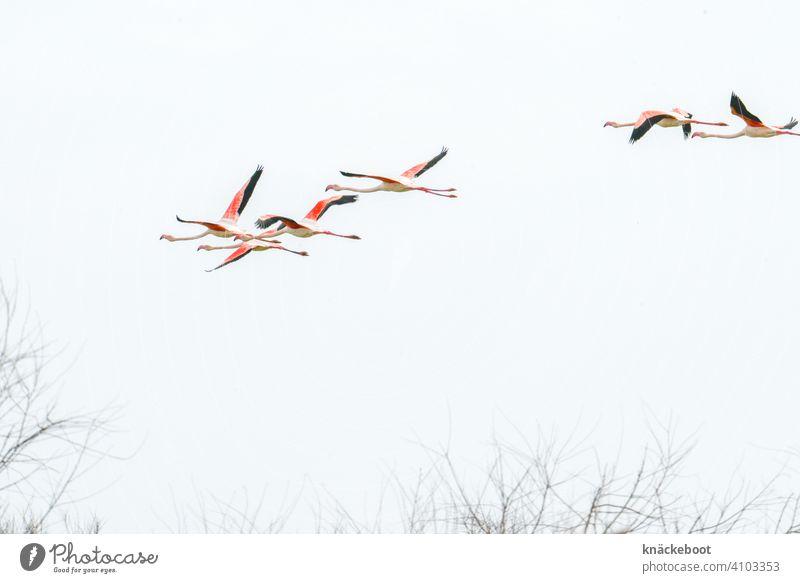 Flamingoschwarm Camargue Natur Frankreich Umwelt Südfrankreich Landschaft Außenaufnahme Farbfoto Vögel Tier Vogel Wildtier rosa Tiergruppe