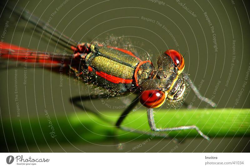 Libellenaugen Auge Insekt Libelle Frühe Adonislibelle