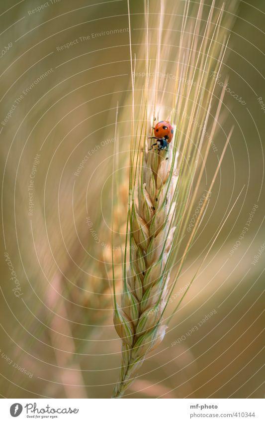 Kleiner roter Flitzer Natur grün Pflanze Sommer Sonne Tier schwarz gelb braun orange Feld
