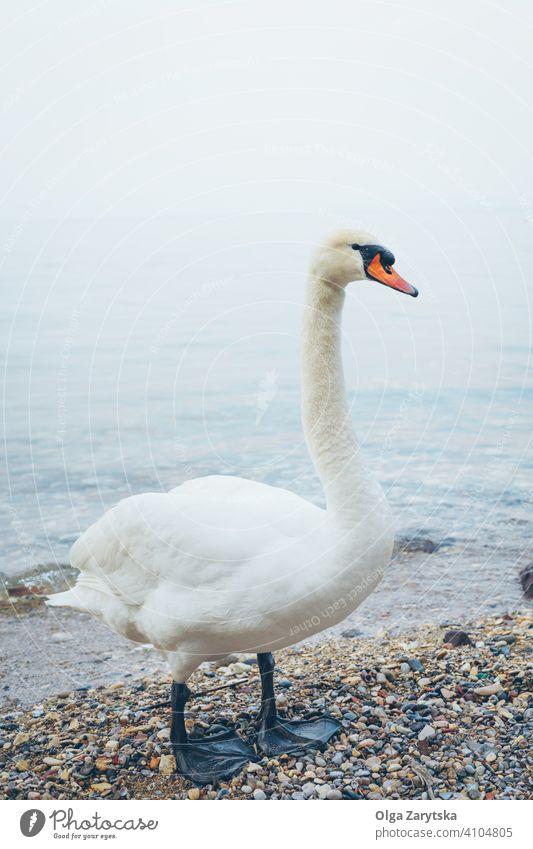 Weißer Schwan auf dem Meer. weiß Vogel MEER Strand Abend blau Wasser Natur Tier Feder See Wasservögel stehen Stimmung wild Tierwelt Tierbühne Vogelwelt