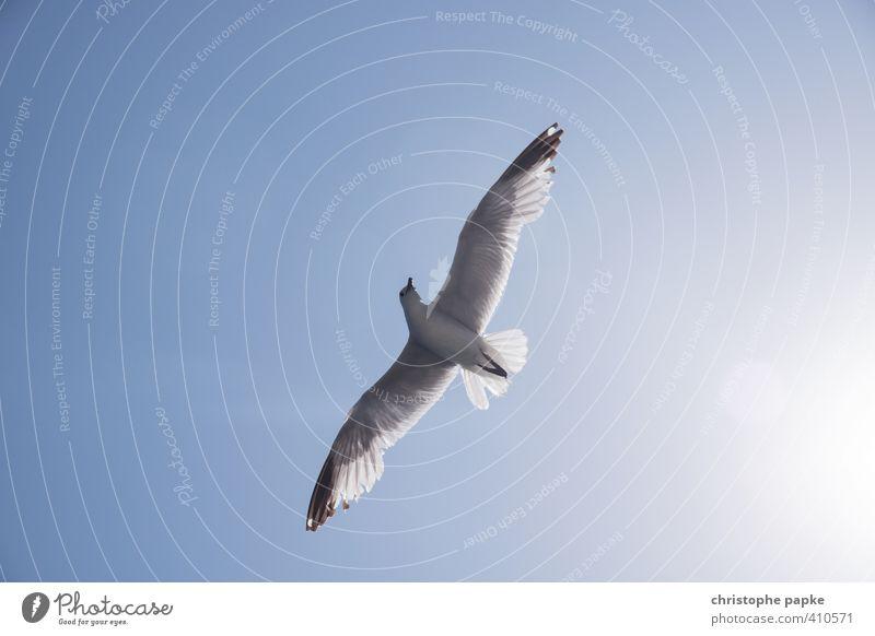Freiheit Ferien & Urlaub & Reisen Sommerurlaub Sonne Strand Luft Himmel Wolkenloser Himmel Tier Wildtier Vogel Flügel Möwe 1 beobachten fliegen ästhetisch frei