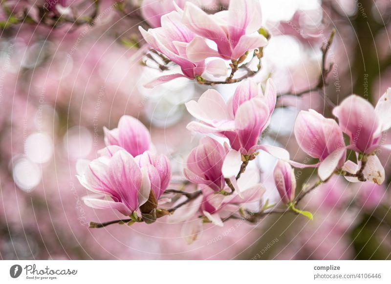 Magnolien Zweig mit Blüten im Frühling Wachstum Pflanze Hintergrundbild Wellness Baum schön Natur natürlich Duft Spa Blume Blühend Magnoliengewächse
