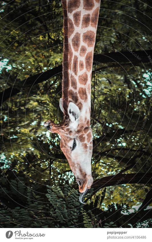 Langhals – Giraffe beim fressen Giraffenkopf giraffenhals Giraffenessen Giraffenmuster Safari Hals Tierporträt Tiergesicht tierwelt tiere Tierernährung Fressen