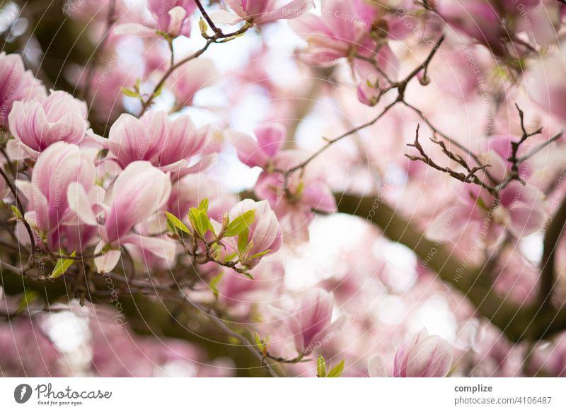 Magnolien-Baum im Frühling Wachstum Pflanze Hintergrundbild Wellness schön Natur natürlich Duft Spa Blume Blühend Blüte Magnoliengewächse Magnolienbaum blühen