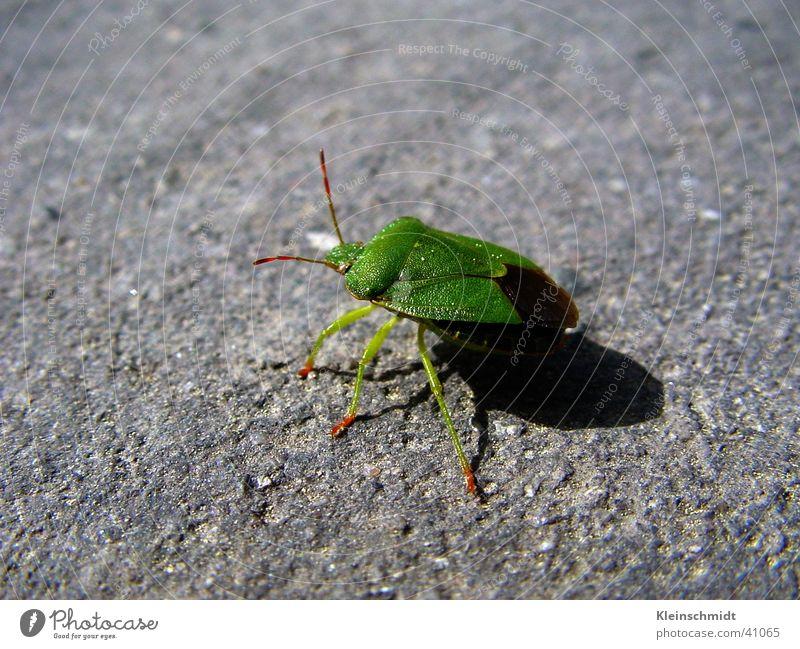 käfer__1 Tier Makroaufnahme Käfer she