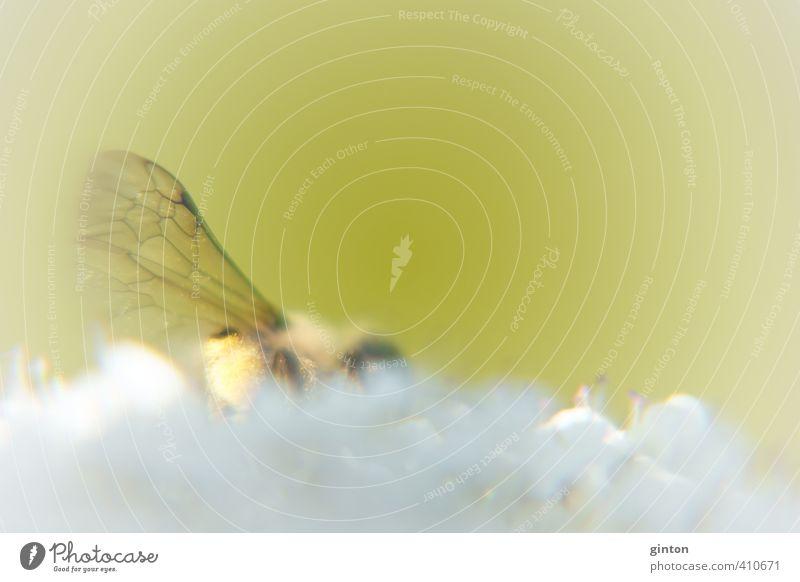 Insektenflügel Natur grün weiß Pflanze Sommer Blume Tier gelb hell Wildtier frisch Flügel Blühend festhalten nah Biene