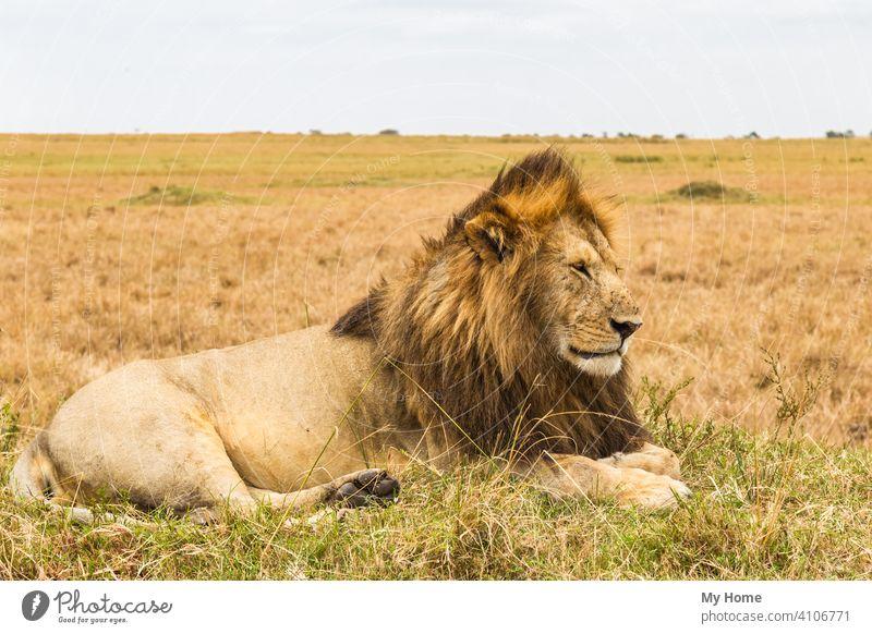 Die lebende Sphinx. Afrikanischer Löwe ruhend auf einem Hügel. Kenia Addo Tier Tiere Biest Bestien schön groß Buchse Fleischfresser Katze Katzen Nahaufnahme