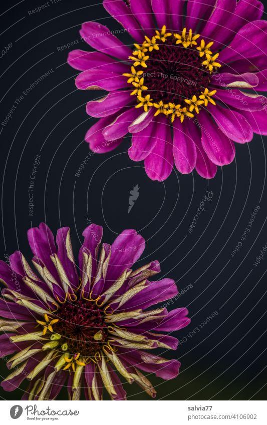 Blumenmuster Blüte Dekoration & Verzierung Blühend pink dekorativ Design Duft Hintergrund neutral Textfreiraum Mitte diagonal Natur Pflanze Menschenleer schön