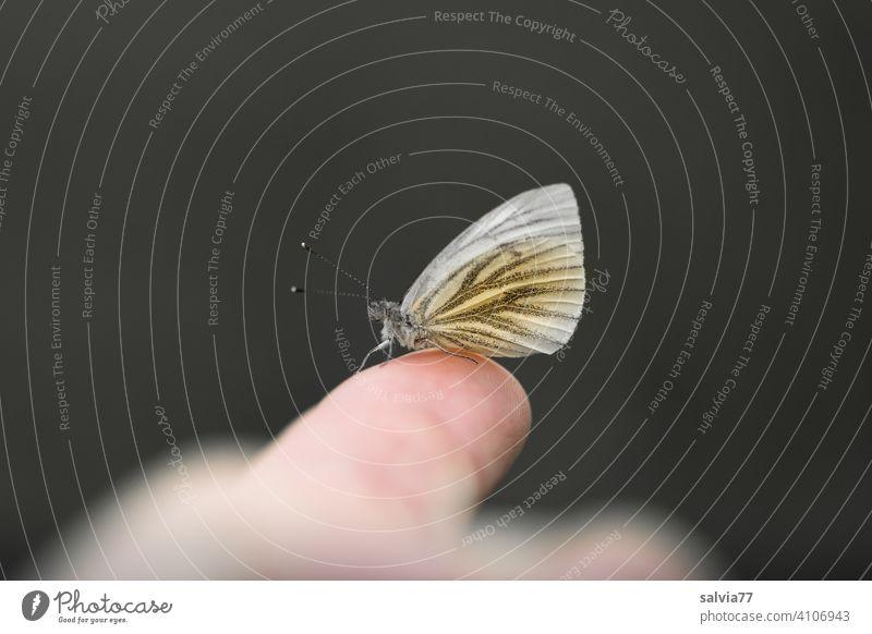 Schmetterling sitzt auf Finger schwarzer hintergrund Makroaufnahme Weißling Hintergrund neutral Freisteller Kontrast Zentralperspektive Textfreiraum oben