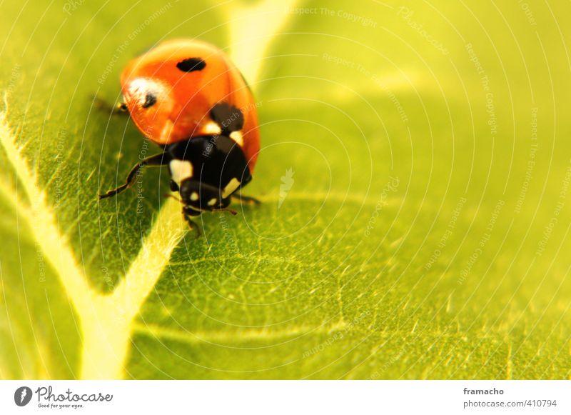 Käfer Natur Tier Sommer Pflanze Blatt Sonnenblume Wildtier Marienkäfer 1 Glück natürlich niedlich positiv schön grün rot schwarz Gefühle Zufriedenheit