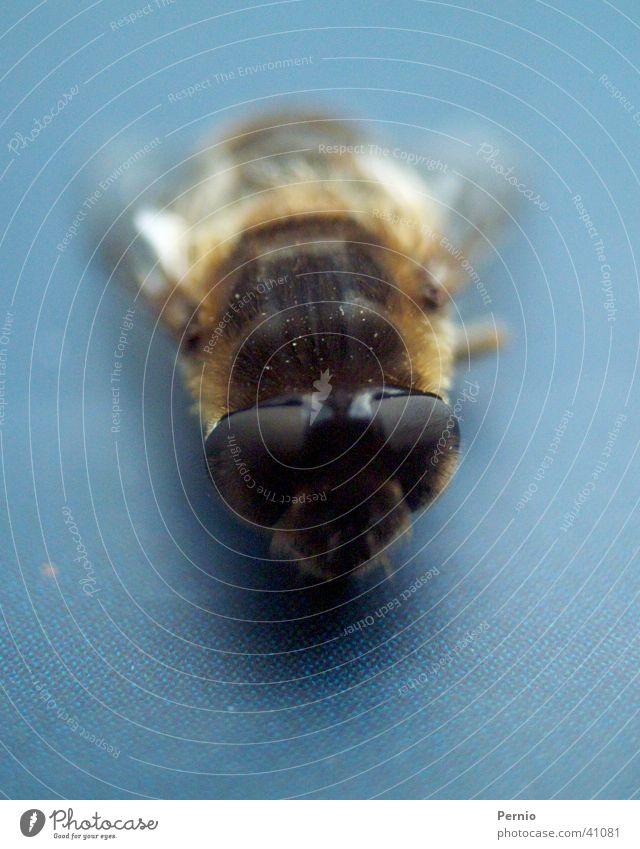 Fliege Insekt