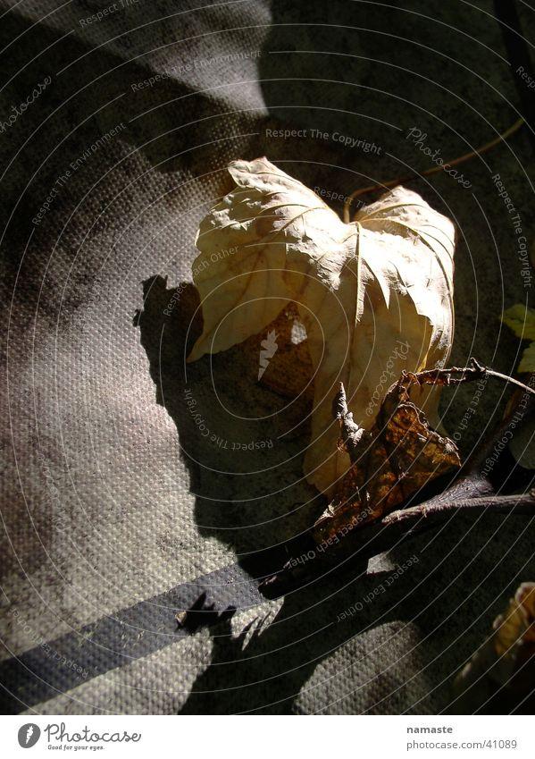 herbstblatt im lichterschein Blatt Herbst Vergänglichkeit Lichtspiel