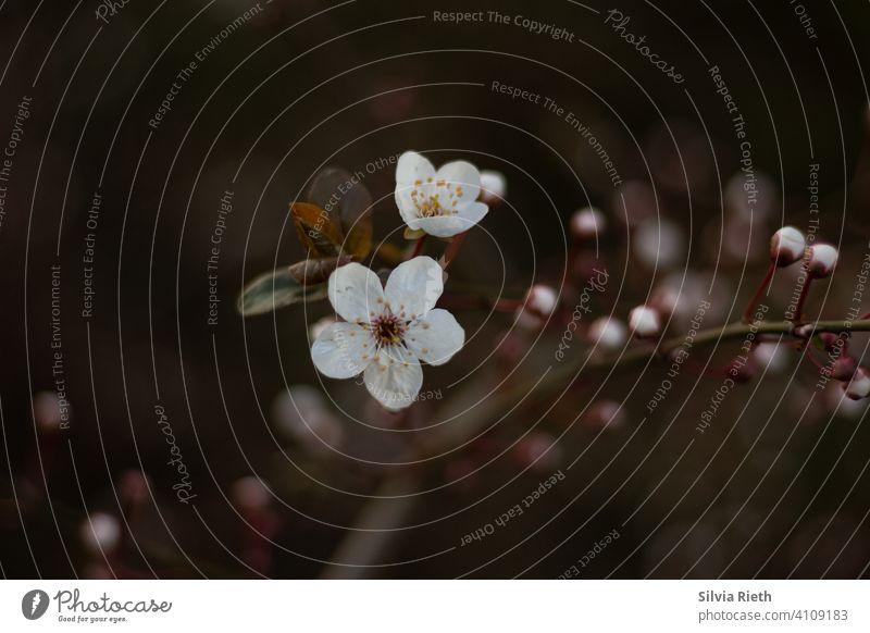 Weißblühender Zweig Zweige u. Äste Natur Ast Umwelt Farbfoto Schwache Tiefenschärfe Außenaufnahme Sträucher Blüte Blühend Frühling Weiße Blüten