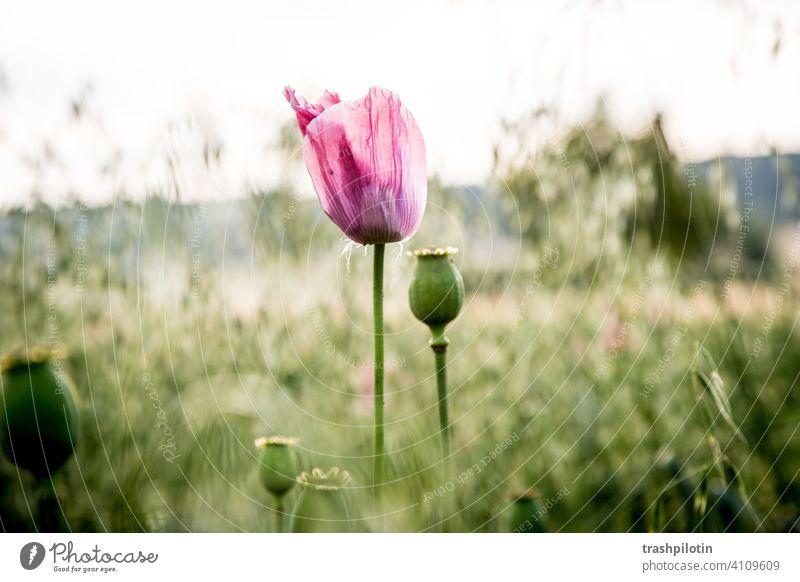 Mohn im Feld Klatschmohn Natur Rosa blaue Stunde Nordhessen Felder Mohnblüte Mohnfeld Mohnkapsel Mohnblume mohnwiese mohnknospe mohnblumen