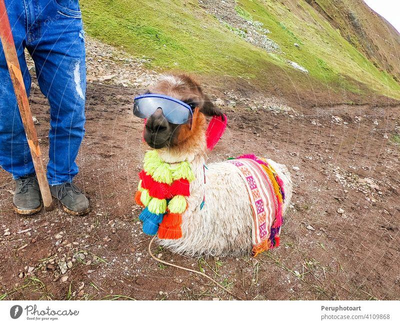 Blick auf ein lustiges Alpaka mit Sonnenbrille am Regenbogenberg, Vinicunca, Cusco amerika Tier cusco Landschaft Lama Säugetier Natur Peru reisen wild Tierwelt