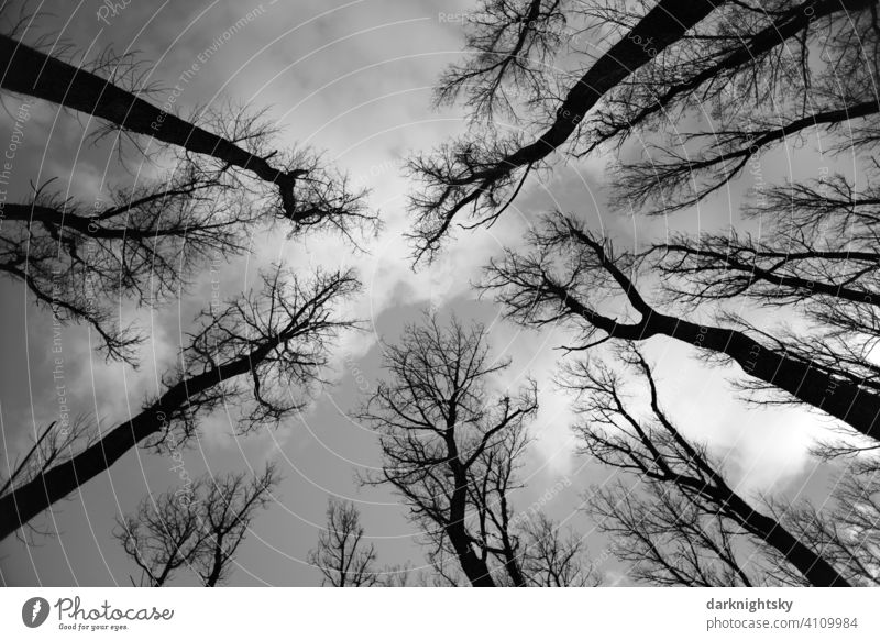 Winterliche Stimmung in einem Wald aus Pappeln, die blattlos dastehen und sich gegen den Himmel recken. Natur Umwelt trocken Pflanze Außenaufnahme Landschaft