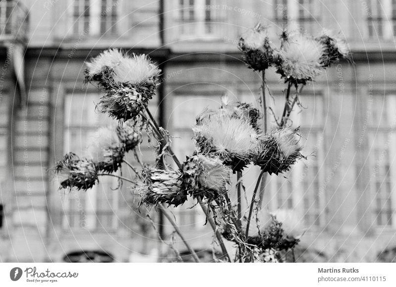 Getrocknete Blumen auf verschwommenem Äußeren des Hauses trocknen Blumenstrauß geblümt Dekoration & Verzierung getrocknet Ordnung Park Garten Paris verblüht