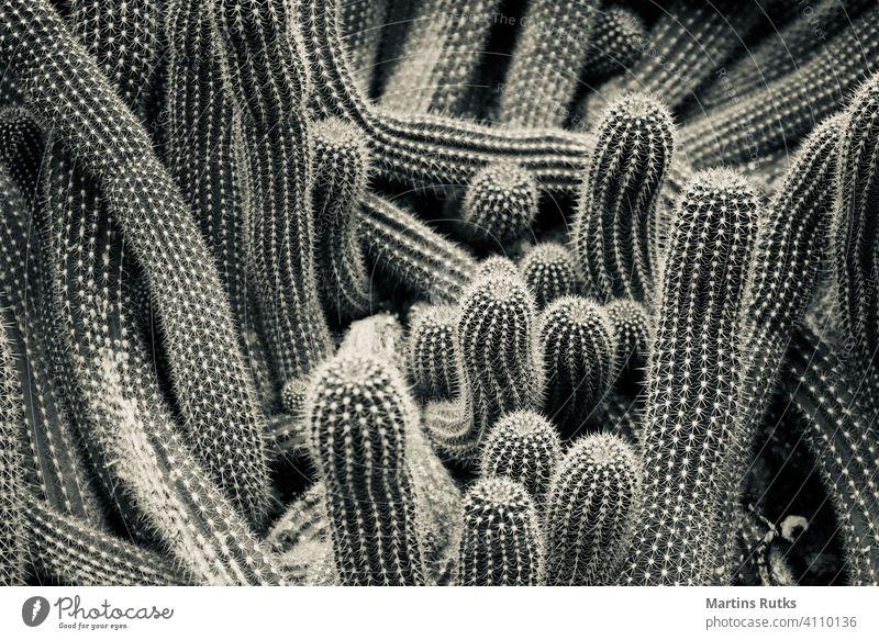 Wurm wie Kaktus detailliert rein gefährlich Kur Formular Wachstum Apotheke wachsen schließen geblümt Makro Blume Schönheit Dekoration & Verzierung grün rund