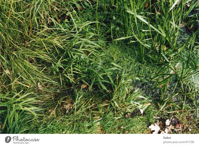 tümpel Natur Wasser grün Blatt Gras Teich
