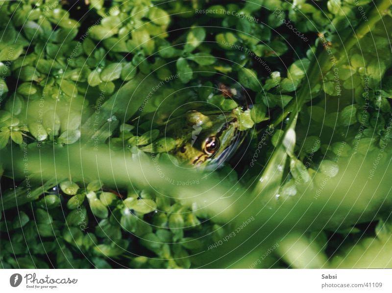 frosch Natur Wasser grün Blatt Frosch Teich