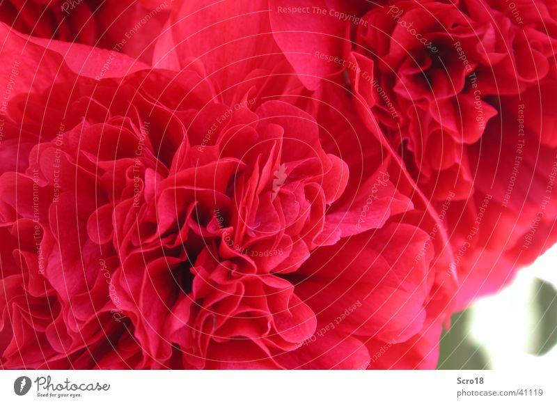 a rose is a rose ... Rose rot rosa Blatt Rosenblätter Makroaufnahme Blume