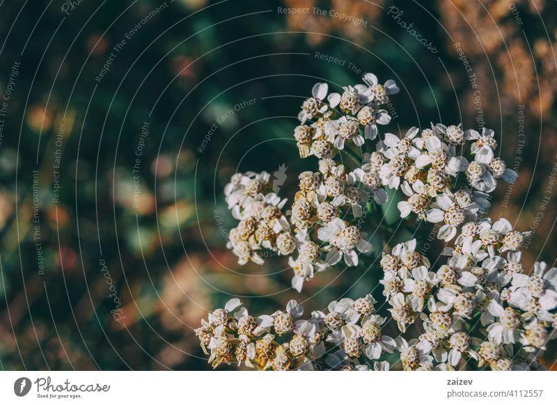 kleine weiße Achillea-Blüten Medizin horizontal Wachstum Gesundheitswesen Lebensstile alternativ keine Menschen Homöopathie Farbbild Kräuterbuch