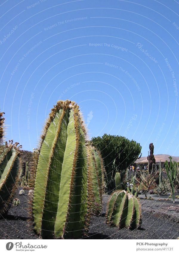 kaktus stachelig Kaktus Lanzarote Kanaren Ferien & Urlaub & Reisen