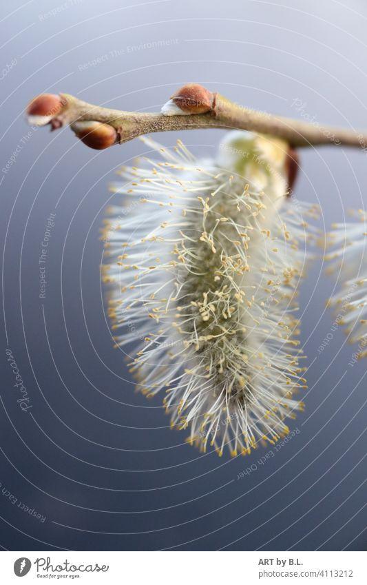 Kleiner Puschel Kätzchen Weide puschel weich filigran ast zweig weide weidenkätzchen Pflanze natur frühjahr frühling jahreszeit aufgeblüht samen