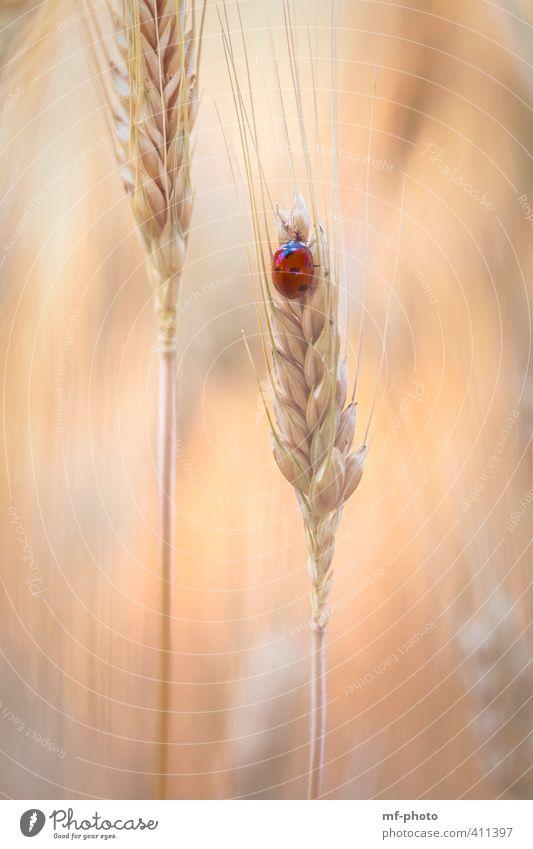 Roter Punkt im Kornfeld Natur Pflanze Sommer rot Tier orange Feld Käfer Marienkäfer