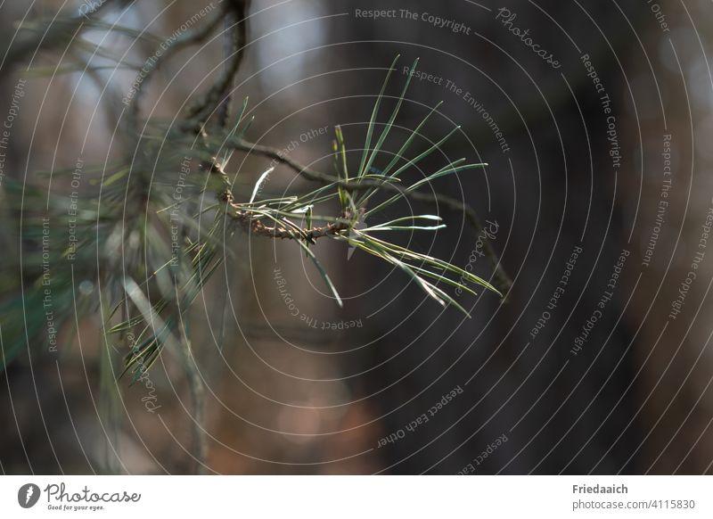 Ein Sonnenstrahl bringt Kiefernnadeln zum Leuchten Nadelbaum grün Wald Baum Umwelt Natur Pflanze Nahaufnahme Außenaufnahme Tag Detailaufnahme