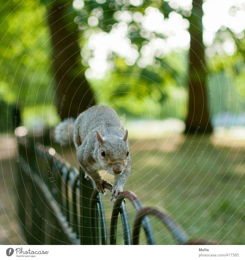 Zaungast Umwelt Natur Landschaft Sommer Pflanze Baum Park Tier Wildtier Eichhörnchen 1 Metall Bewegung laufen frei natürlich Neugier niedlich Interesse Freiheit