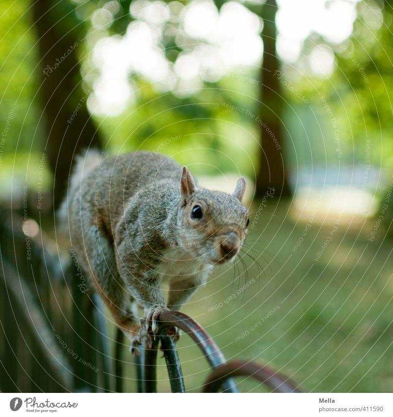 Mein Name ist Horn. Eich Horn. Umwelt Natur Landschaft Tier Sommer Pflanze Baum Park Wildtier Eichhörnchen 1 Zaun Metall hocken Blick frei nah natürlich Neugier