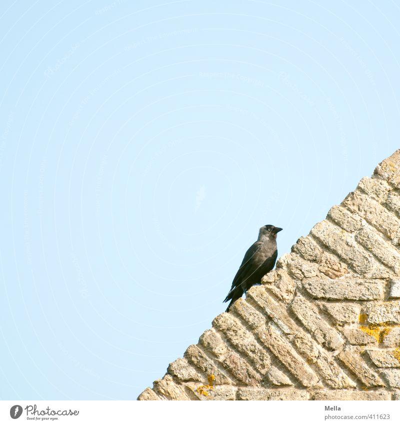 Schräger Vogel Umwelt Natur Tier Himmel Mauer Wand Fassade Dach Wildtier Dohle 1 Stein hocken Blick sitzen natürlich blau Zufriedenheit Neigung diagonal Ecke