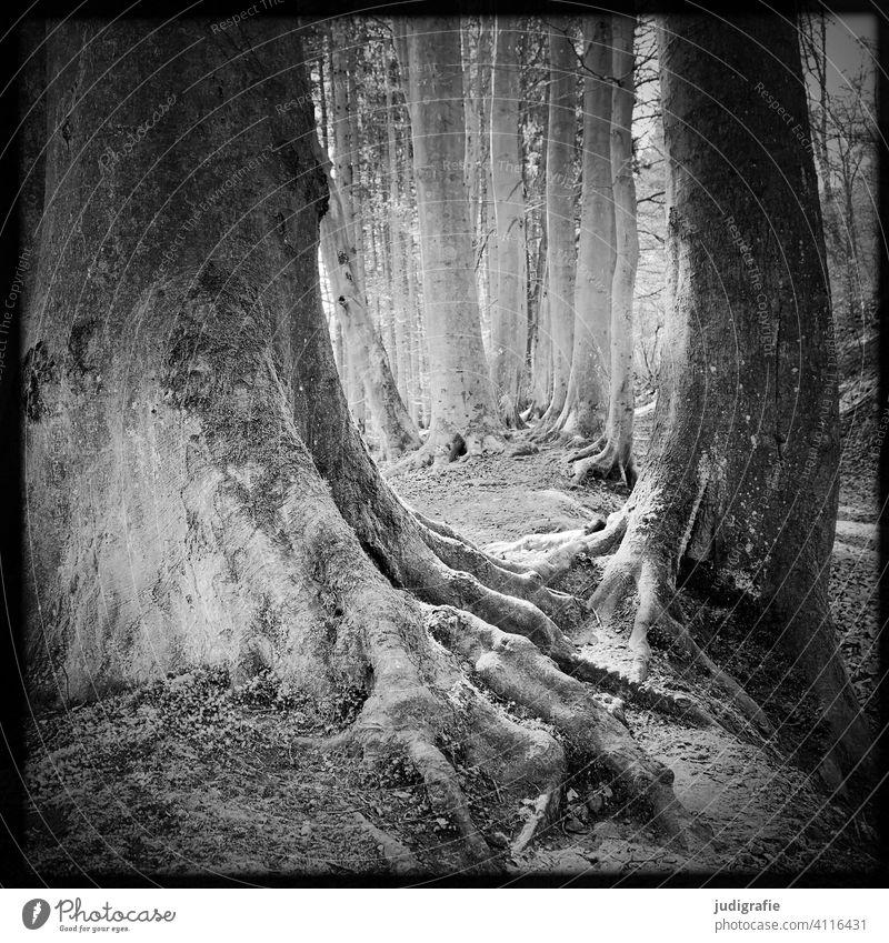 Wald Baum Bäume Wurzel Wege & Pfade wandern draußen Natur Landschaft Umwelt Durchgang Erholung Schwarzweißfoto